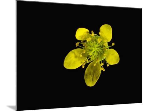 Wood Avens Flower-Solvin Zankl-Mounted Photographic Print