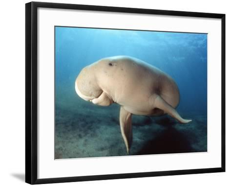 Dugong (Dugong Dugon), Indonesia-David Fleetham-Framed Art Print