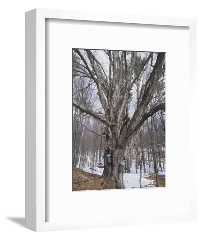 Sugar Maple Tree (Acer Saccharum) with Sap Collection Buckets, New England, North America-Ned Therrien-Framed Art Print