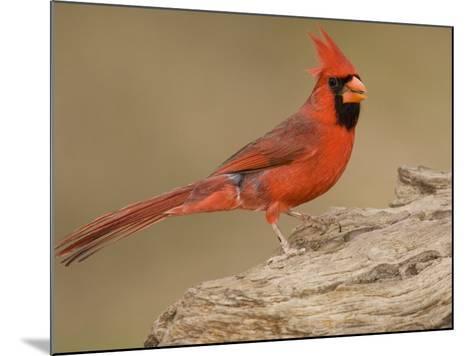 Male Northern Cardinal, Cardinalis Cardinalis, North America-John Cornell-Mounted Photographic Print