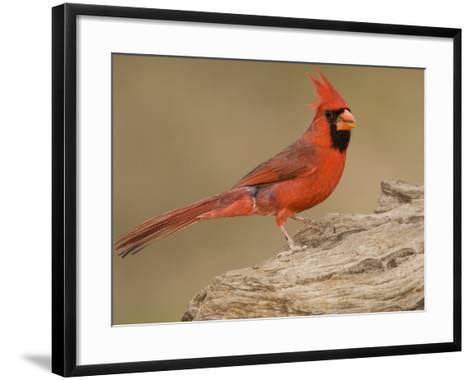 Male Northern Cardinal, Cardinalis Cardinalis, North America-John Cornell-Framed Art Print