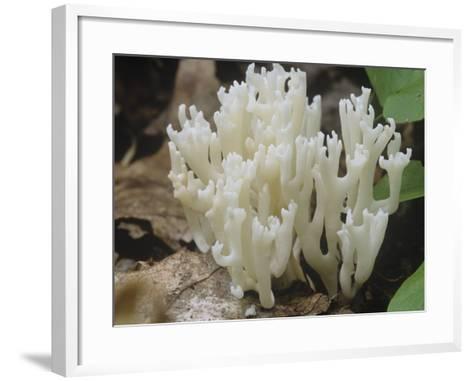 White Coral Mushroom (Ramariopsis Kunzei), North America-Ross Frid-Framed Art Print