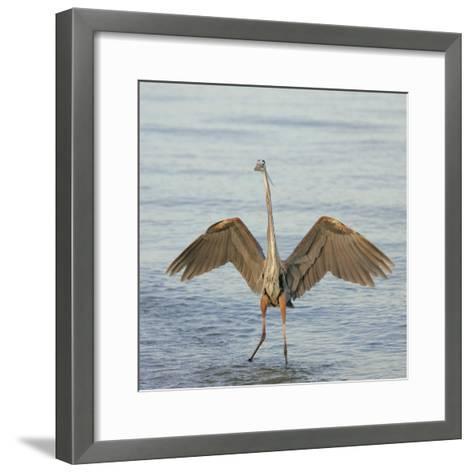 Great Blue Heron Wading in Water with its Wings Spread, Ardea Herodias, Sanibel, Florida, USA-Arthur Morris-Framed Art Print