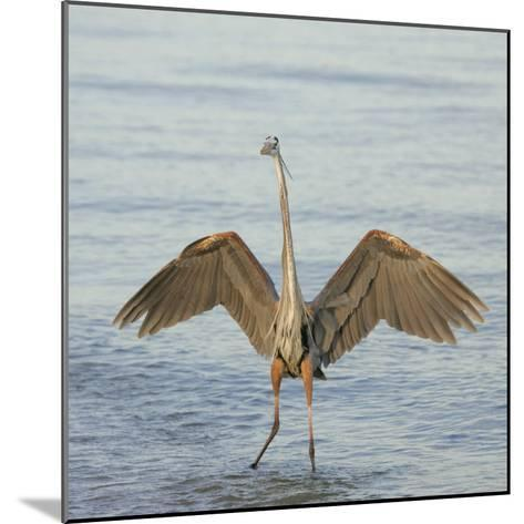 Great Blue Heron Wading in Water with its Wings Spread, Ardea Herodias, Sanibel, Florida, USA-Arthur Morris-Mounted Photographic Print