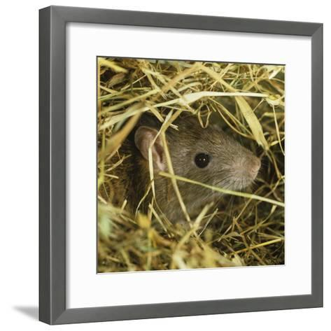 Brown Rat (Rattus Norvegicus) Head Poking Out from Hay-Nigel Cattlin-Framed Art Print