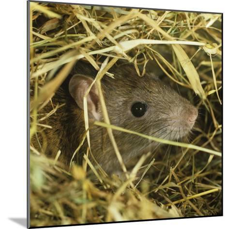 Brown Rat (Rattus Norvegicus) Head Poking Out from Hay-Nigel Cattlin-Mounted Photographic Print