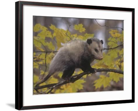 Opossum in a Tree in a Deciduous Forest, Didelphis Virginiana, USA-Gary Walter-Framed Art Print