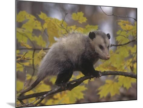 Opossum in a Tree in a Deciduous Forest, Didelphis Virginiana, USA-Gary Walter-Mounted Photographic Print