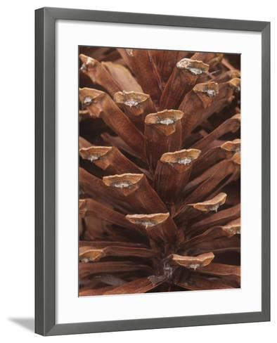 Close-Up of a Mature Female or Seed Cone of the Longleaf Pine, Pinus Palustris, Southeastern USA-David Sieren-Framed Art Print