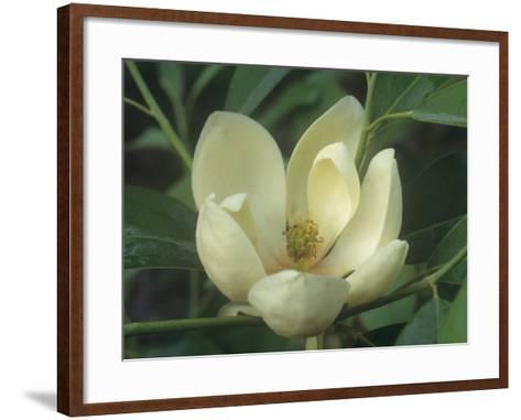 Sweetbay Magnolia Flower, Magnolia Virginiana, Eastern North America-David Sieren-Framed Art Print