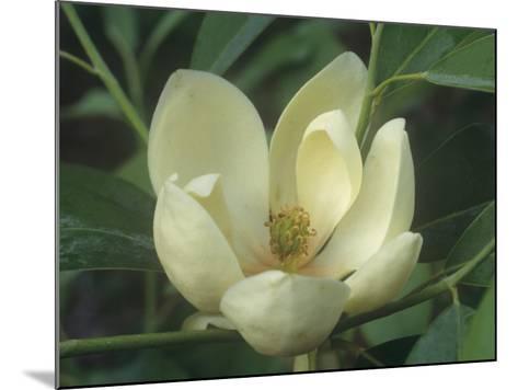 Sweetbay Magnolia Flower, Magnolia Virginiana, Eastern North America-David Sieren-Mounted Photographic Print