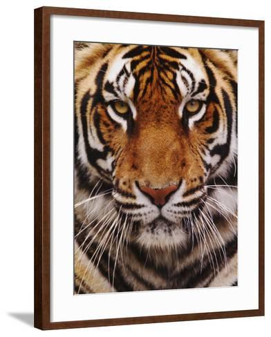 Bengal Tiger Face, Panthera Tigris, Asia-Adam Jones-Framed Art Print