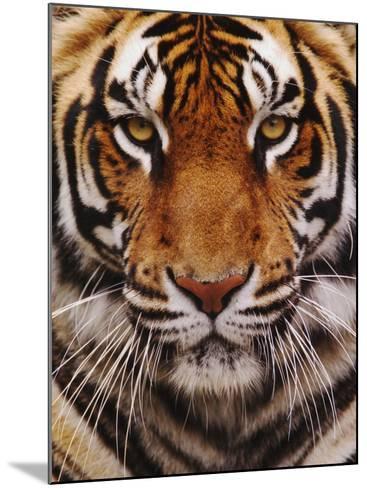 Bengal Tiger Face, Panthera Tigris, Asia-Adam Jones-Mounted Photographic Print