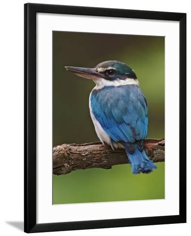 Collared Kingfisher, Halcyon Chloris, Asia-Adam Jones-Framed Art Print