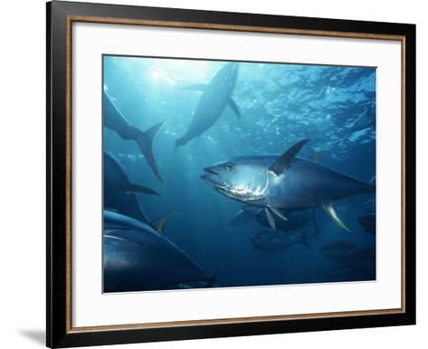 Yellowfin Tuna (Thunnus Albacares) in a Seine Net, Baja California, Mexico-Richard Herrmann-Framed Art Print
