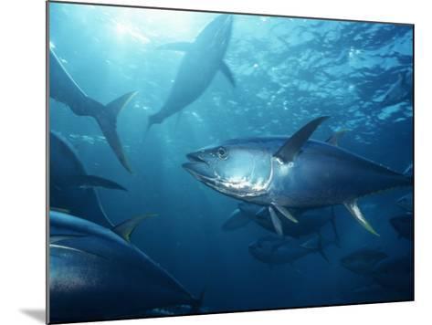 Yellowfin Tuna (Thunnus Albacares) in a Seine Net, Baja California, Mexico-Richard Herrmann-Mounted Photographic Print