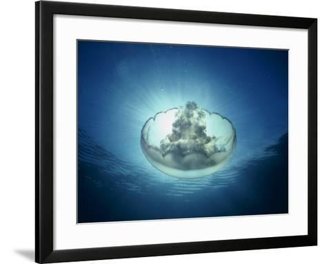 Moon Jellyfish, Aurelia Labiata, Point Lobos, California, USA-David Wrobel-Framed Art Print