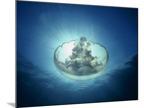 Moon Jellyfish, Aurelia Labiata, Point Lobos, California, USA-David Wrobel-Mounted Photographic Print