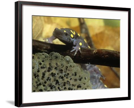 Spotted Salamander in a Vernal Pool with Eggs, Ambystoma Maculatum, . Northeastern USA-Gustav W. Verderber-Framed Art Print