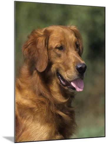 Golden Retriever Breed of Domestic Dog-Cheryl Ertelt-Mounted Photographic Print