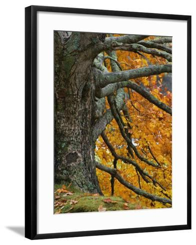 Trunk, Branches, and Fall Leaves of a Large Maple(Acer), Eastern USA-Adam Jones-Framed Art Print
