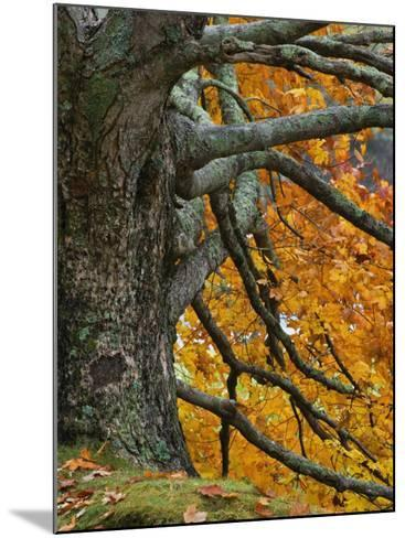Trunk, Branches, and Fall Leaves of a Large Maple(Acer), Eastern USA-Adam Jones-Mounted Photographic Print