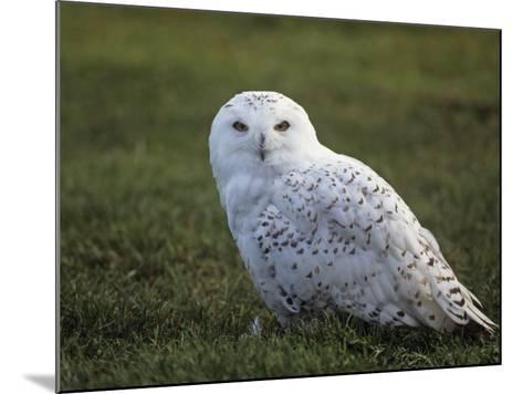 Female Snowy Owl (Nyctea Scandiaca) Standing in Green Spring Grass, Arctic North America-Tom Walker-Mounted Photographic Print