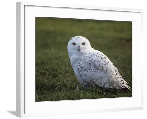 Female Snowy Owl (Nyctea Scandiaca) Standing in Green Spring Grass, Arctic North America-Tom Walker-Framed Art Print