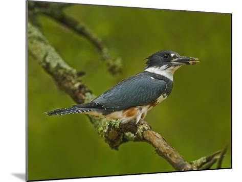 Female Belted Kingfisher with Prey in its Cavity (Ceryle Alcyon), Eastern USA-Adam Jones-Mounted Photographic Print