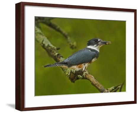 Female Belted Kingfisher with Prey in its Cavity (Ceryle Alcyon), Eastern USA-Adam Jones-Framed Art Print