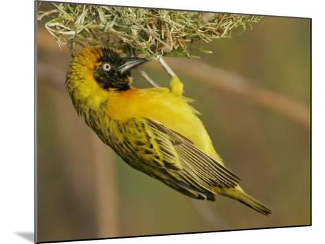 Lesser Masked Weaver Male at its Nest, Ploceus Intermedius, Lake Baringo, Kenya, Africa-Arthur Morris-Mounted Photographic Print
