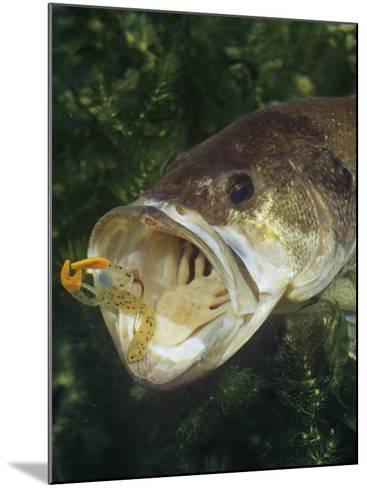 Largemouth Bass with Plastic Lure Underwater-Wally Eberhart-Mounted Photographic Print