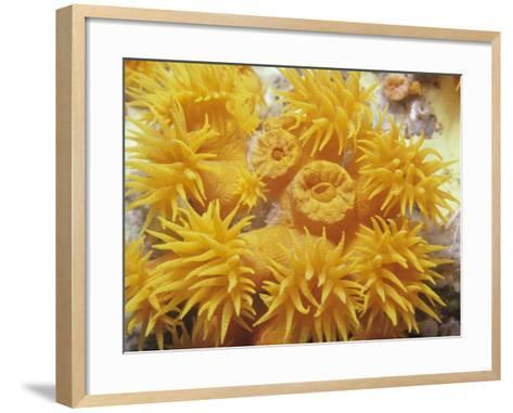 Opened and Unopened Polyps of a Tube or Cup Coral, Tubastraea-David Fleetham-Framed Art Print