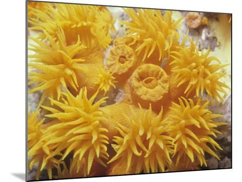 Opened and Unopened Polyps of a Tube or Cup Coral, Tubastraea-David Fleetham-Mounted Photographic Print