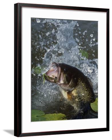 Largemouth Bass, Plastic Lure, Lily Pads-Wally Eberhart-Framed Art Print