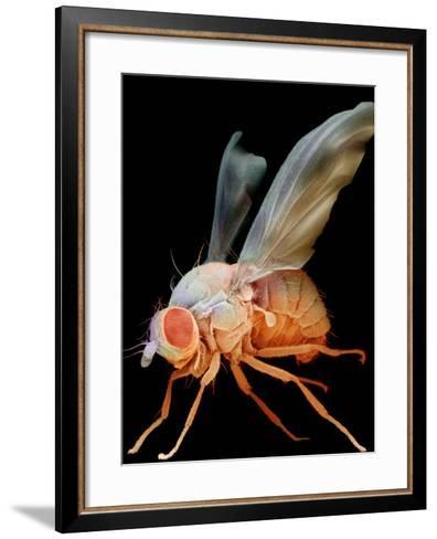 Fruit Fly, Drosophila Melanogaster, an Important Laboratory Organism in Genetics-David Phillips-Framed Art Print