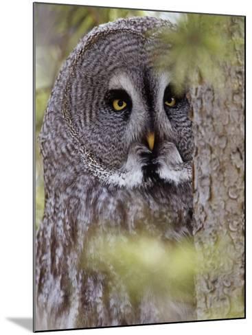 Great Gray Owl Face, Strix Nebulosa, North America-Adam Jones-Mounted Photographic Print