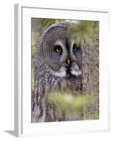 Great Gray Owl Face, Strix Nebulosa, North America-Adam Jones-Framed Art Print