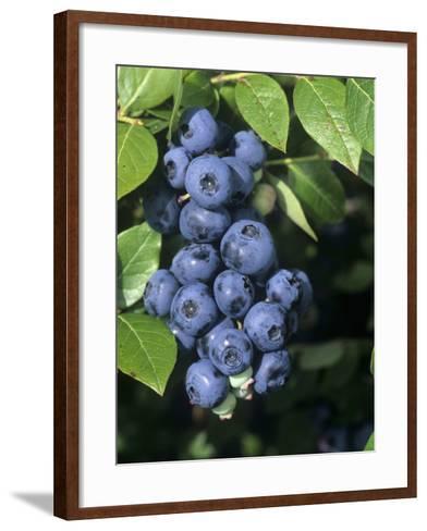 Blueberries, 'North Blue' Variety-Wally Eberhart-Framed Art Print