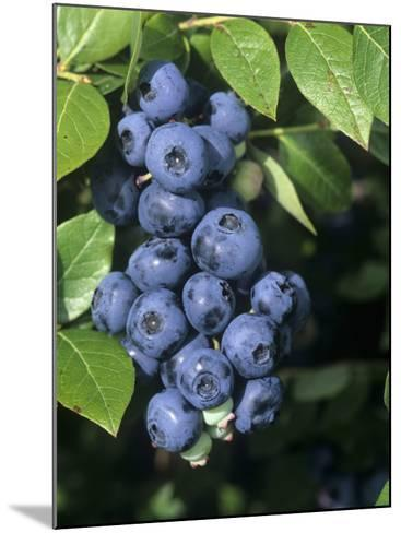 Blueberries, 'North Blue' Variety-Wally Eberhart-Mounted Photographic Print