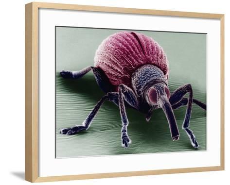 A Snout Beetle-David Phillips-Framed Art Print
