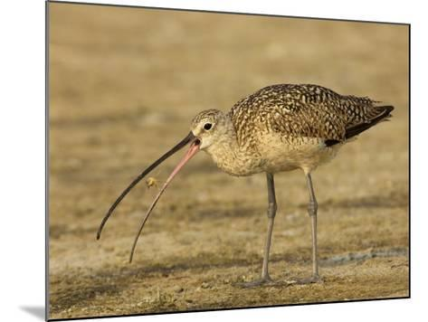 Long-Billed Curlew, Numenius Americanus, with a Crab in its Beak, North America-John Cornell-Mounted Photographic Print
