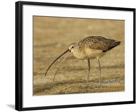 Long-Billed Curlew, Numenius Americanus, with a Crab in its Beak, North America-John Cornell-Framed Art Print