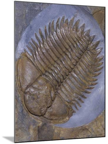 Trilobite Fossil, Ordovician, 473-476 M.Y.A., England-Ken Lucas-Mounted Photographic Print