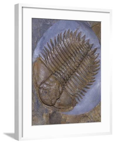 Trilobite Fossil, Ordovician, 473-476 M.Y.A., England-Ken Lucas-Framed Art Print
