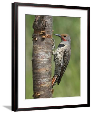Northern Flicker (Colaptes Auratus) Perched on a Tree Trunk, Victoria, British Columbia, Canada-Glenn Bartley-Framed Art Print