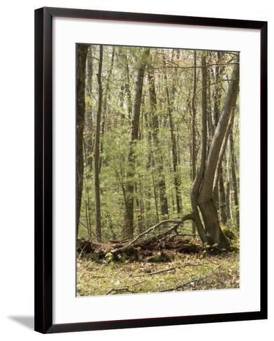 Trees Growing over a Decomposing Nurse Log in the Eastern Deciduous Forest, New England, USA--Framed Art Print