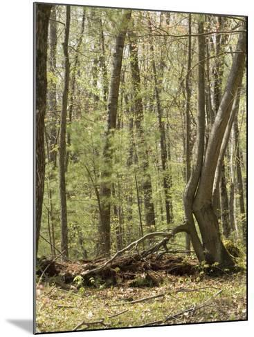 Trees Growing over a Decomposing Nurse Log in the Eastern Deciduous Forest, New England, USA--Mounted Photographic Print