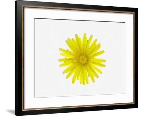 Dandelion Flower (Taraxacum Officinale), a Composite--Framed Art Print