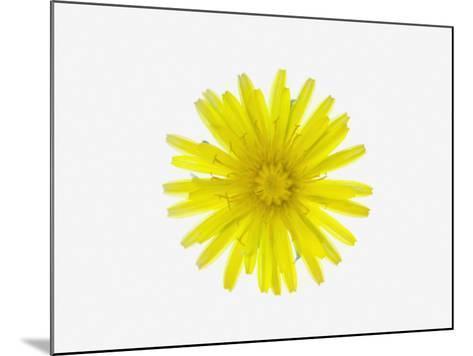 Dandelion Flower (Taraxacum Officinale), a Composite--Mounted Photographic Print